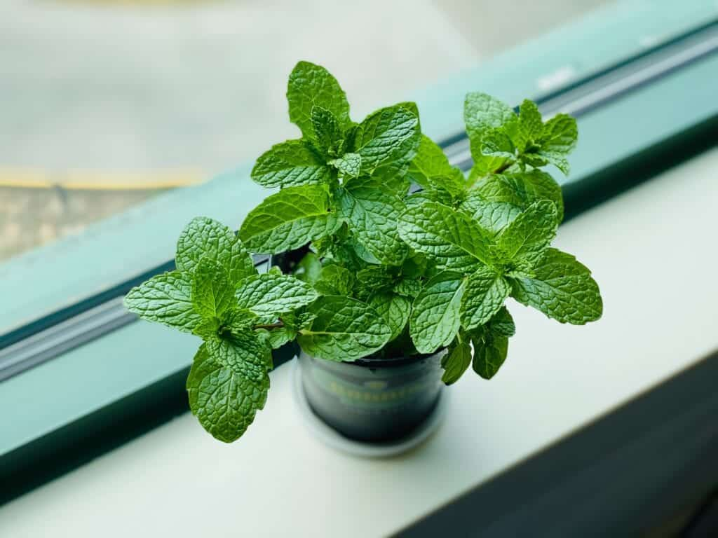 mint plant for Drinks That Help With Nausea