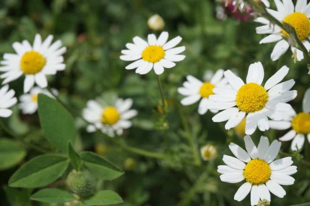 Chamomile for Drinks That Help With Nausea