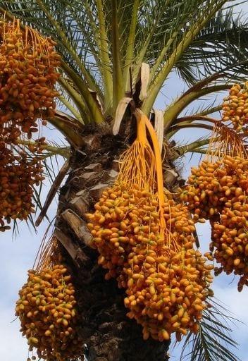 Asian Fruit - dates