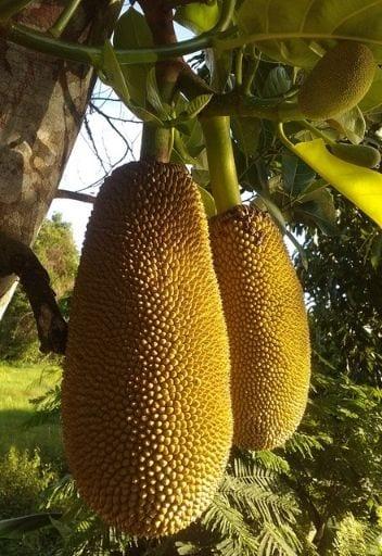 Asian Fruit - jackfruit