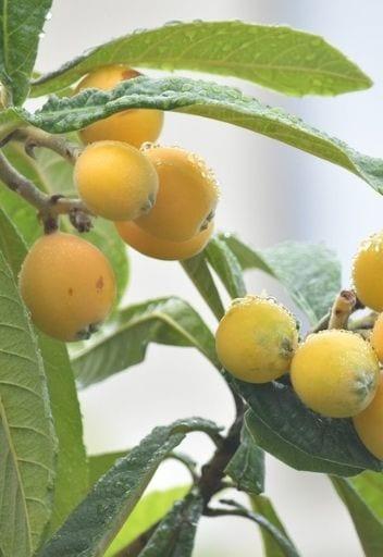 Asian Fruit - loquats