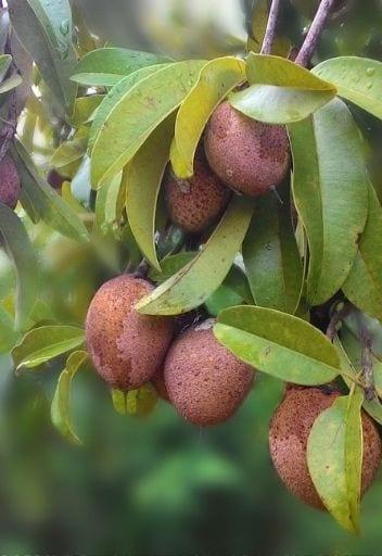 Asian Fruit - sapodilla