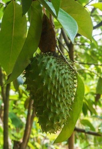 Asian Fruit - soursop